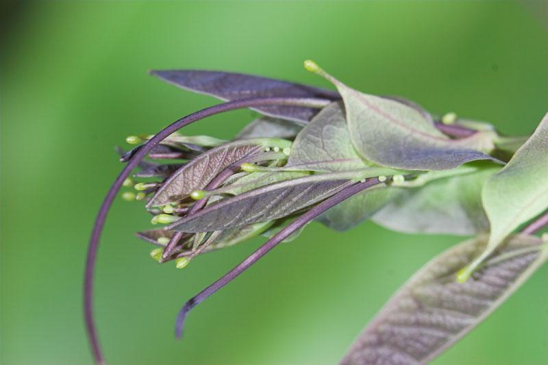 Passiflora actinia tip