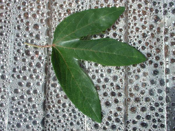 Passiflora 'Amethyst'