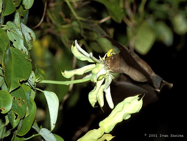 Glossophaga soricina P. mucronata