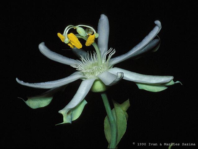 Bats | Passiflora mucronata