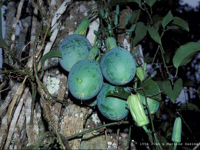Passiflora ovalis fruit