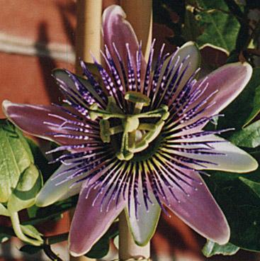 Passiflora x belotii - Vanderplank