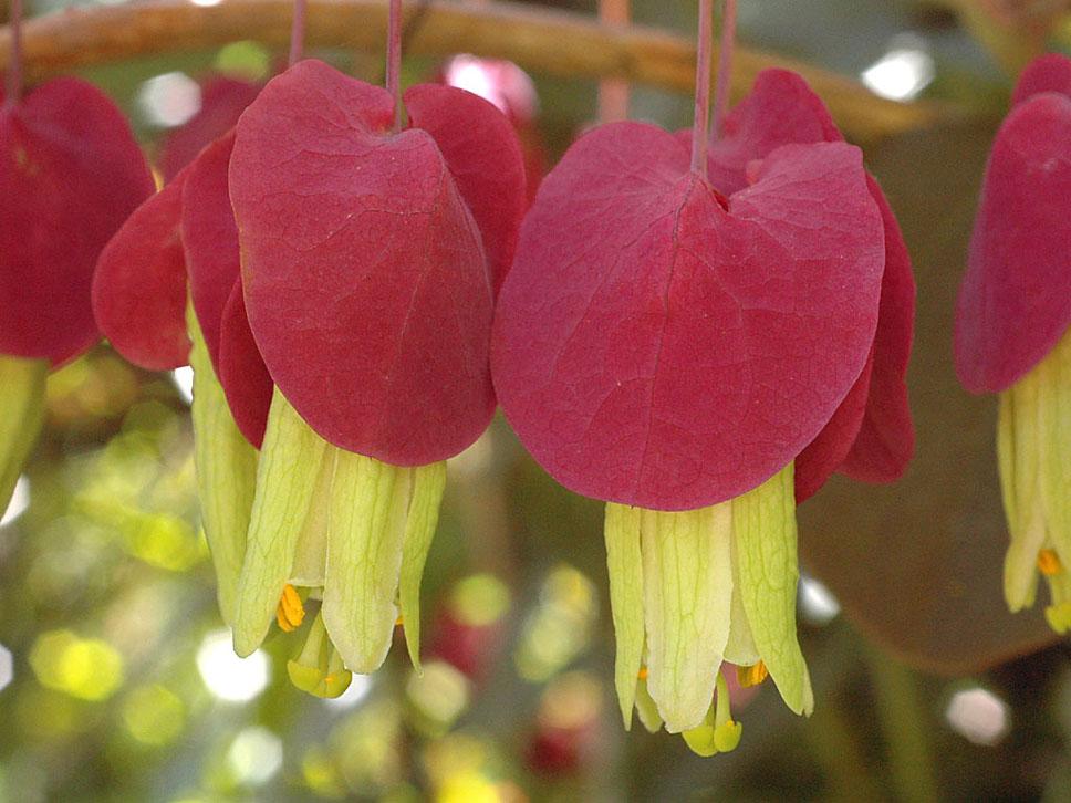 Passiflora membranacea 2© Eric Hunt