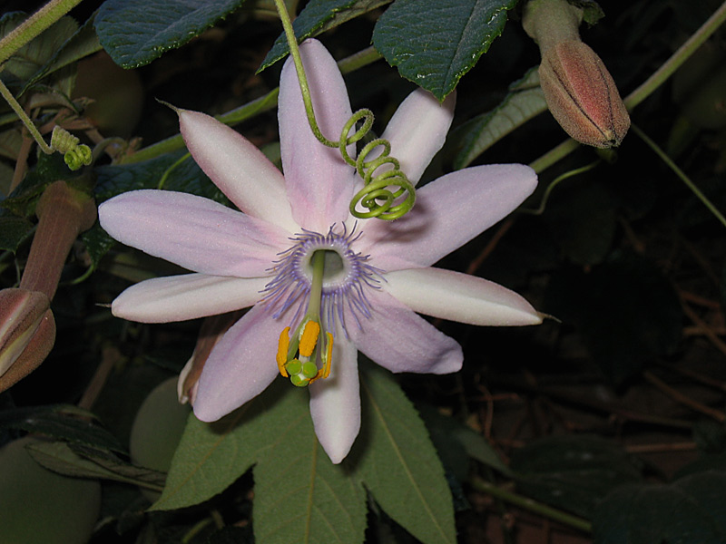 Passiflora pinnatistipula © Bridget Campbell