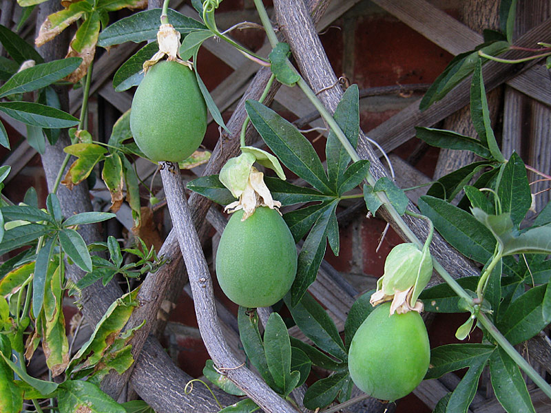 Passiflora caerulea unripe fruit