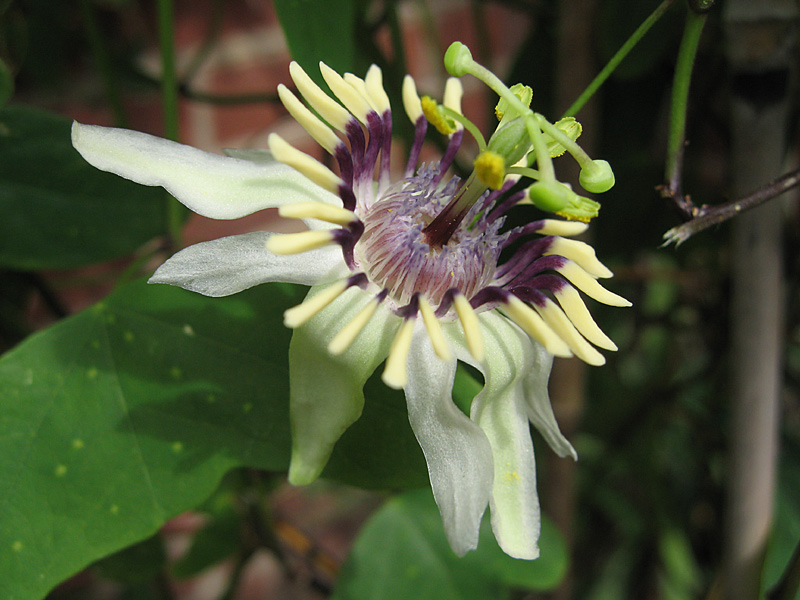 Passiflora colinvauxii flower
