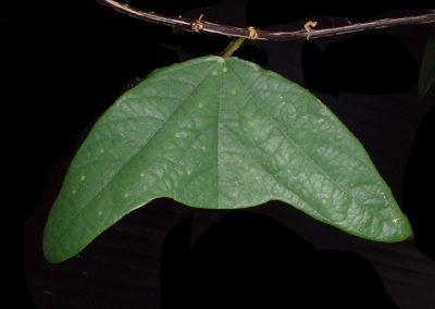 Passiflora colinvauxii leaf 3