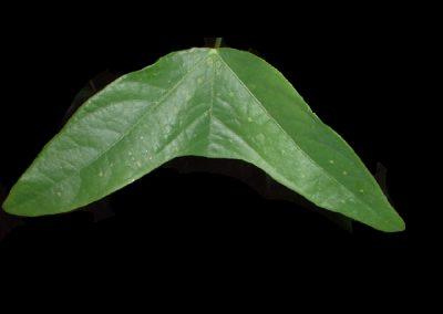 Passiflora colinvauxii leaf 1