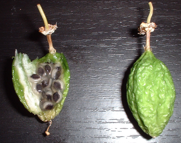 Passiflora colinvauxii fruit