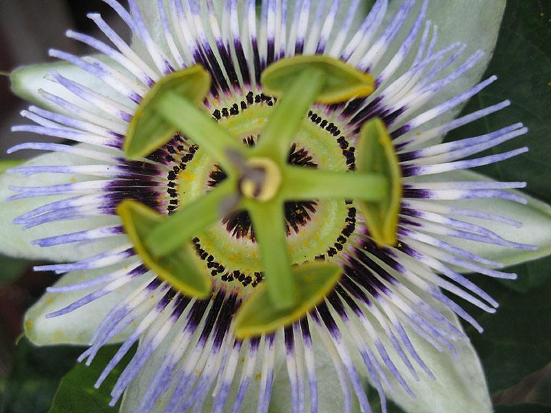 Passiflora Emil Kugler macro