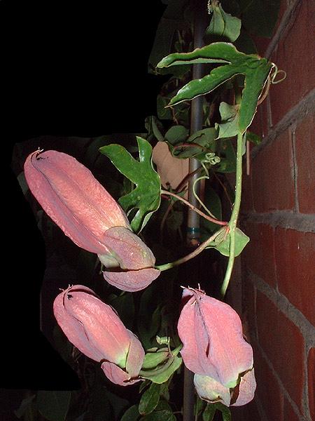 Passiflora x violacea 'Eynesford Gem' buds
