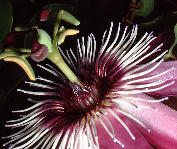 Passiflora x violacea 'Eynesford Gem' close up
