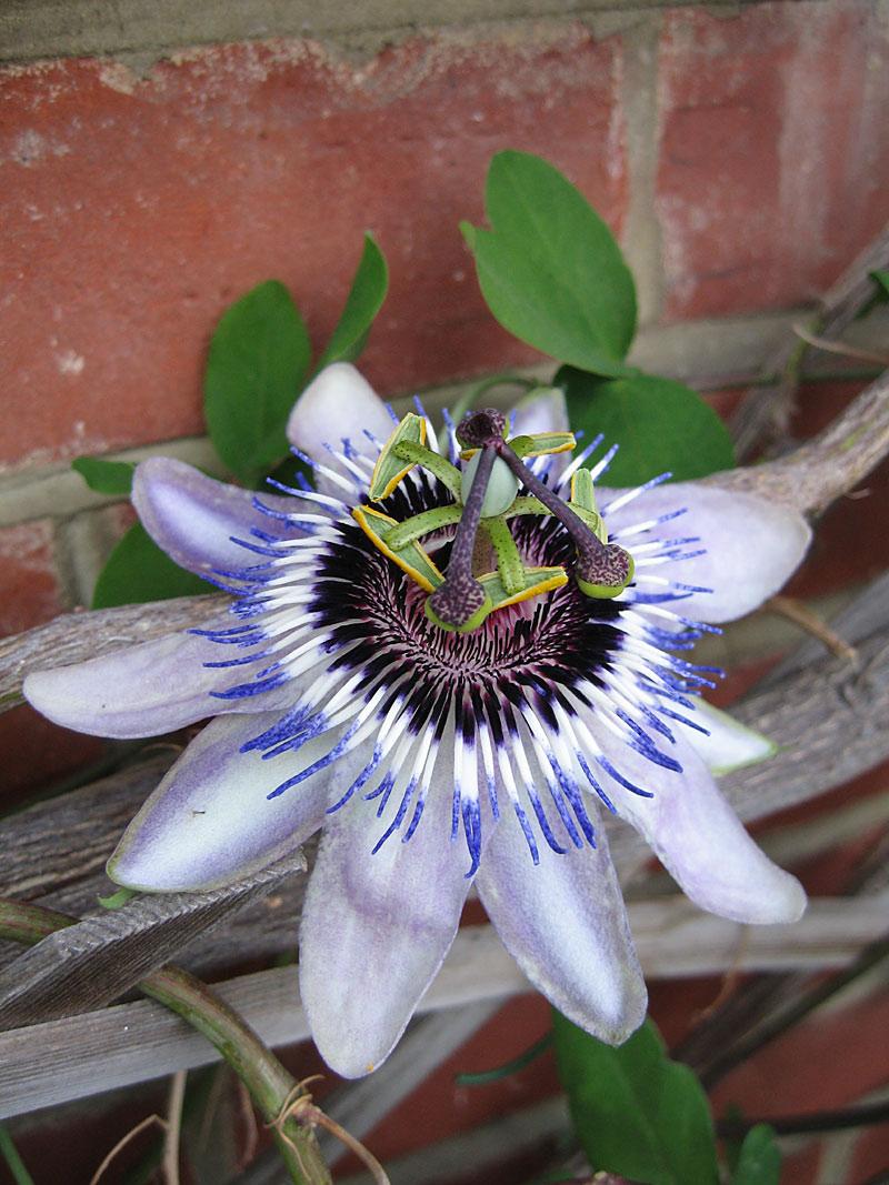 Passiflora Lambiekins flower