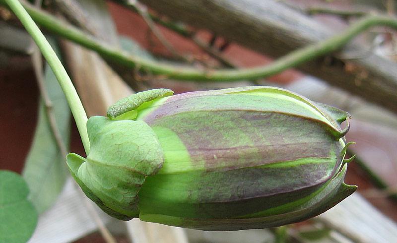 Passiflora Lambiekins bud