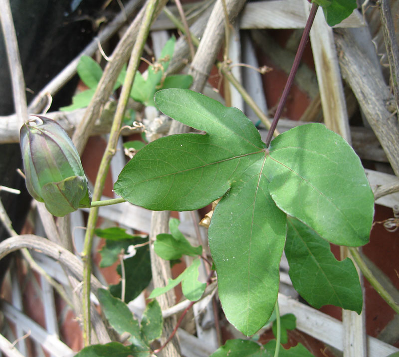 Passiflora Lambiekins foliage