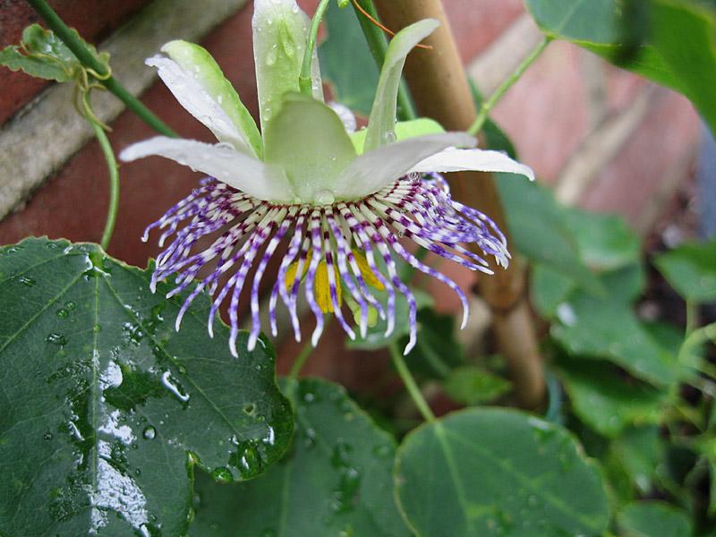 Passiflora elegans rear side