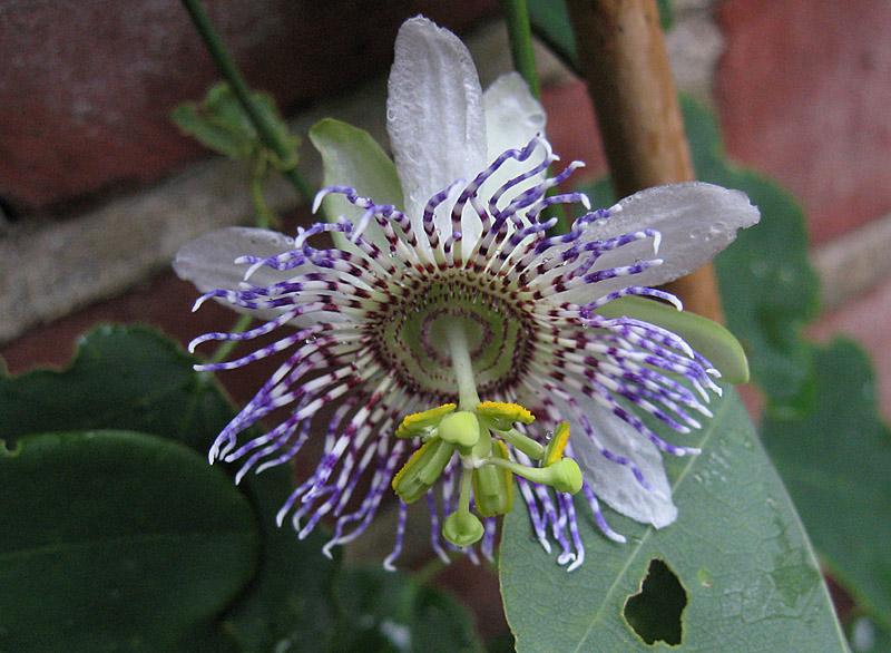 Passiflora elegans top