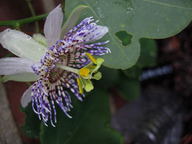 Passiflora elegans side