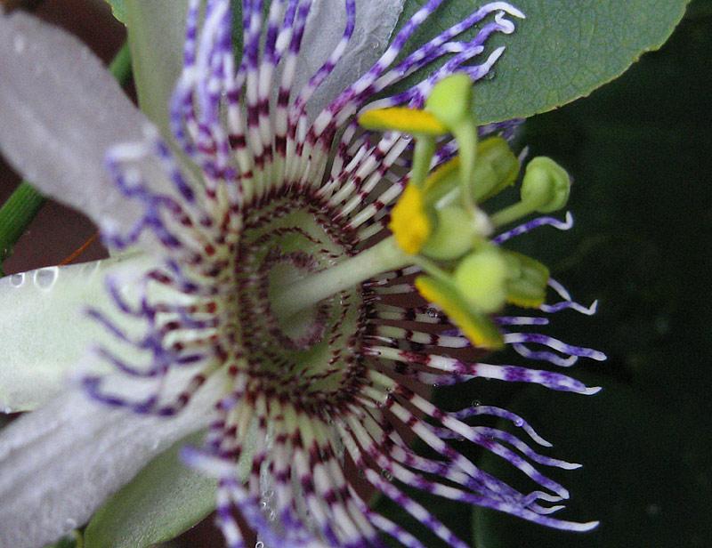 Passiflora elegans close up