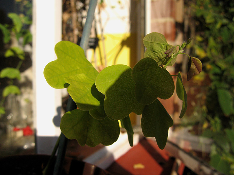 Passiflora elegans tip