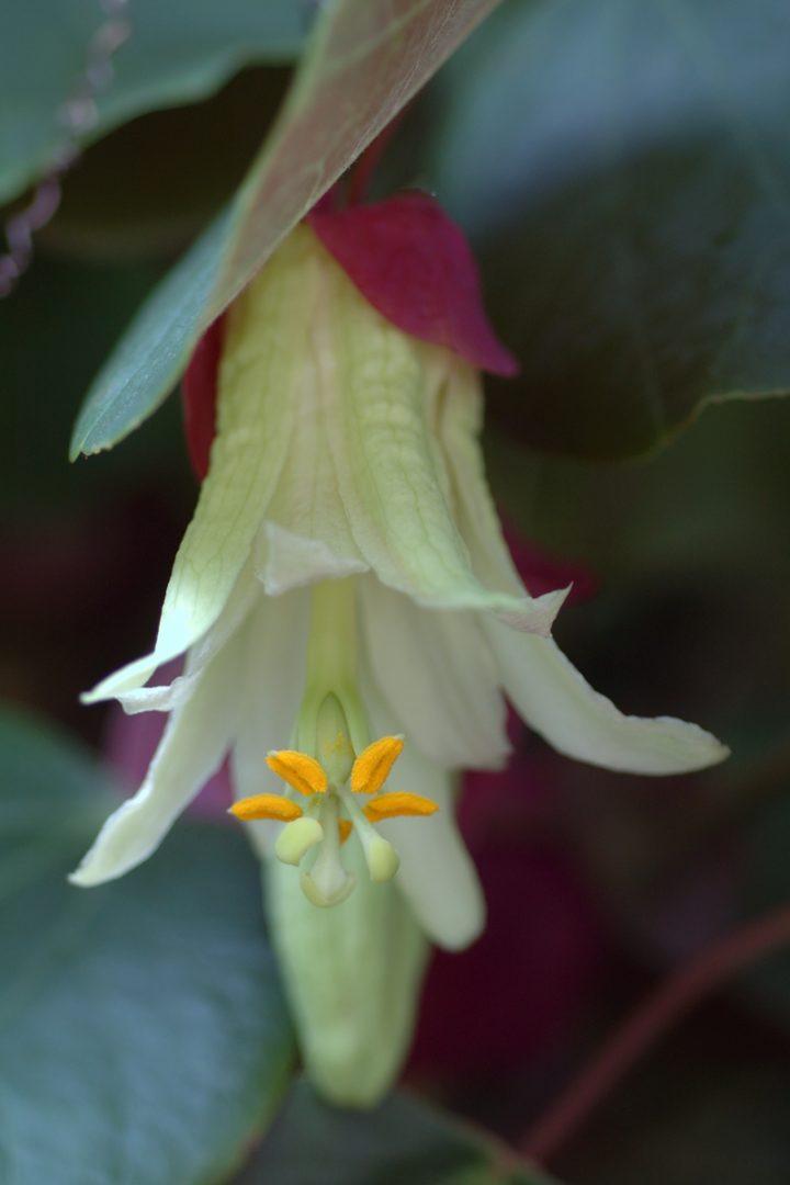Passiflora membranacea close up © Eric Hunt