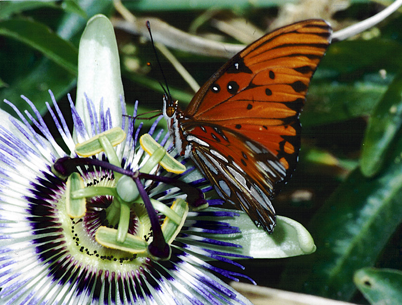 Agraulis vanillae | P. caerulea © Bill Levinson