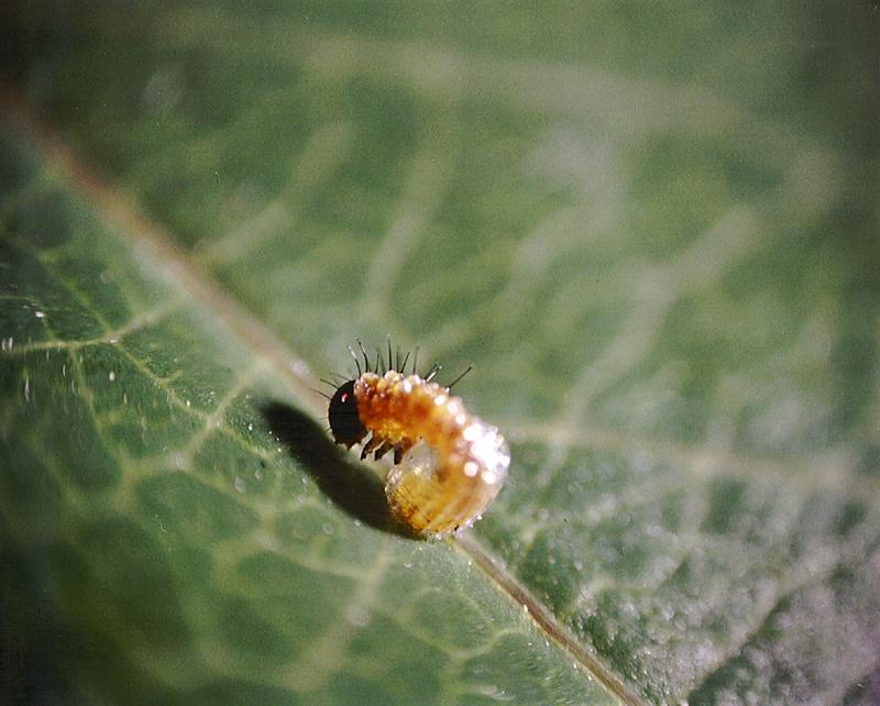 Agraulis vanillae | P. caerulea © 2006 Bill Levinson