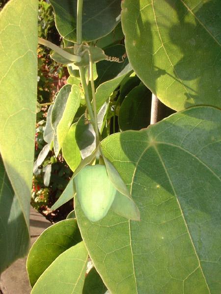 Passiflora hahnii bud
