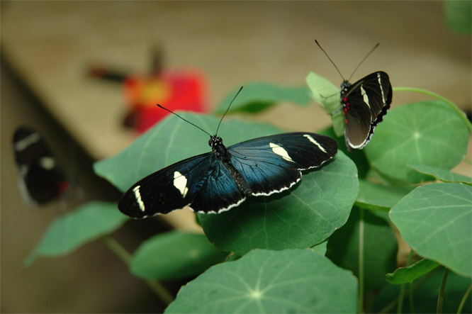 Heliconius sara © Ken Smith