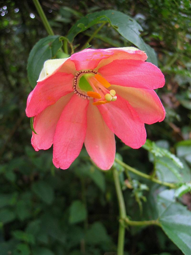 Passiflora mixta © Bridget Campbell