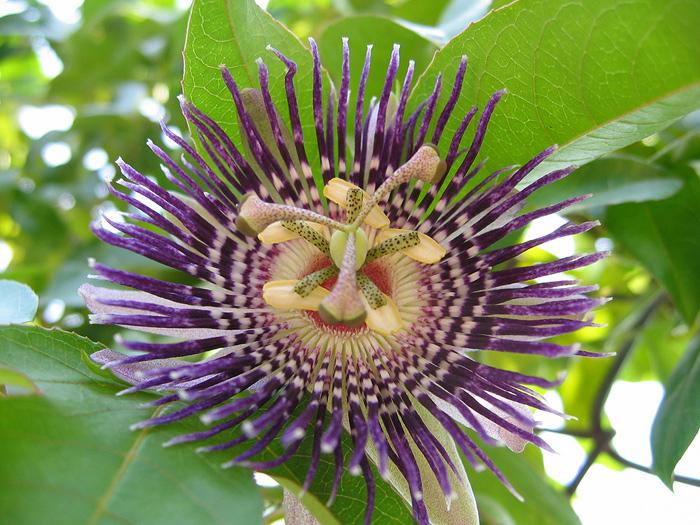 Passiflora 'Soi Fah' flower