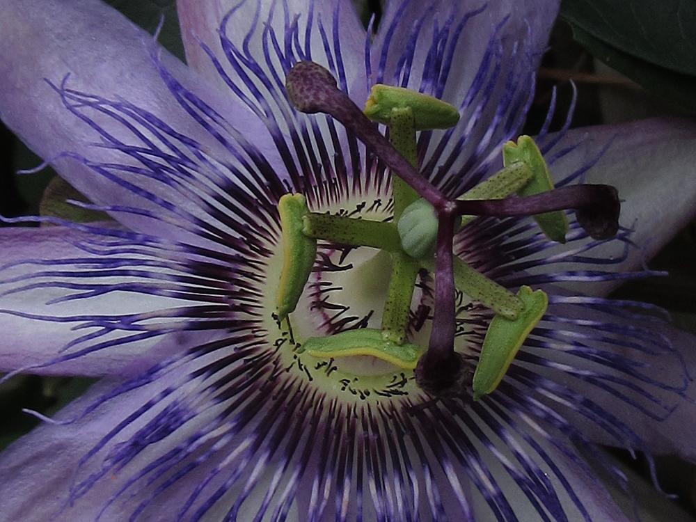 Passiflora 'Justine Lyons' macro