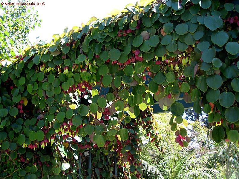Passiflora membranacea 3 © Kelly MacDonald