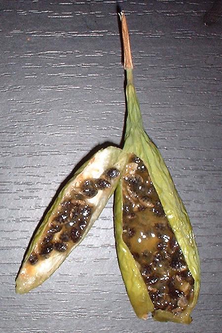 Passiflora seed presoak