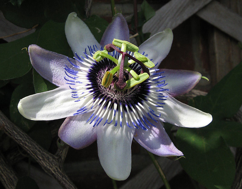 Passiflora Lambiekins