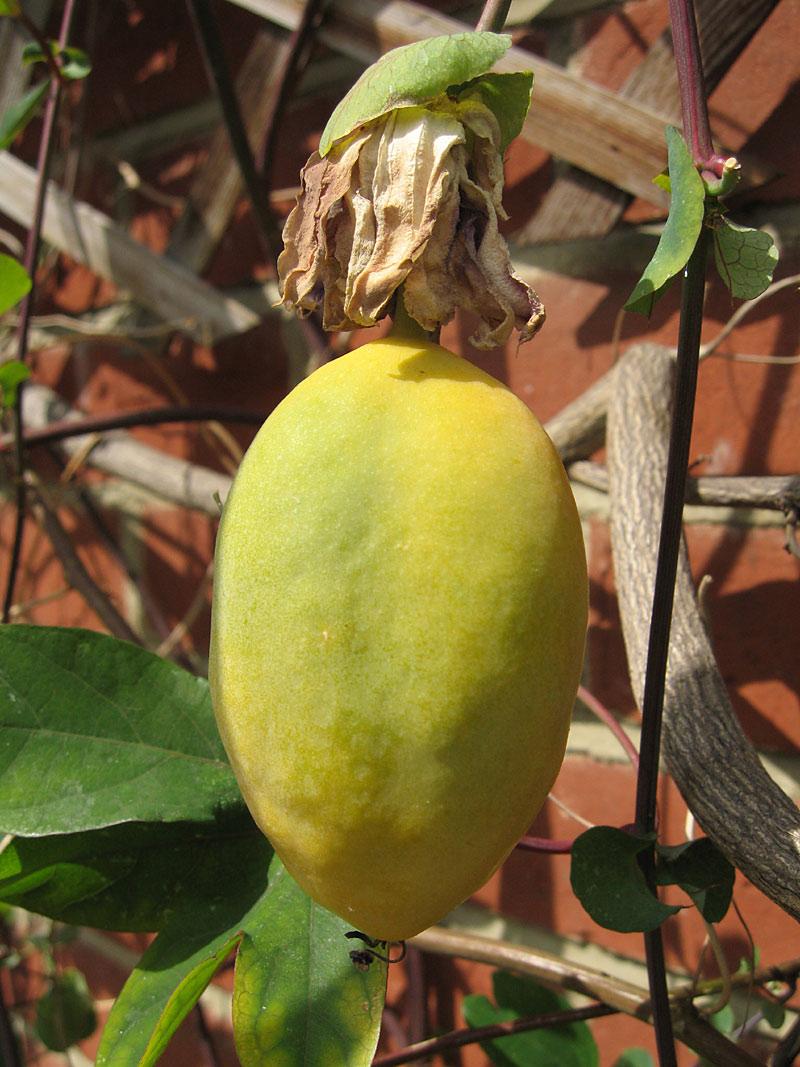 lambfruit