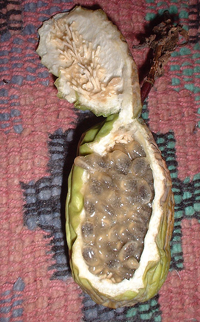Passiflora loefgrenii 'Corupa' fruit