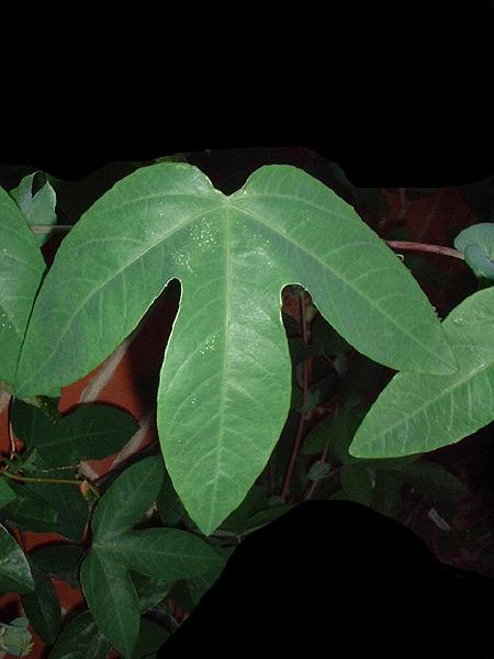 Passiflora loefgrenii 'Iporanga' foliage