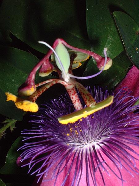 Passiflora loefgrenii 'Iporanga' malformed