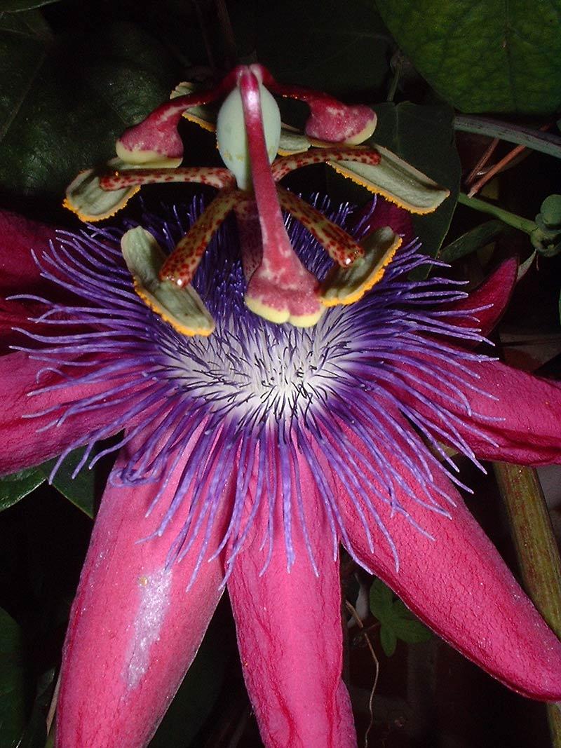 Passiflora loefgrenii 'Iporanga' macro