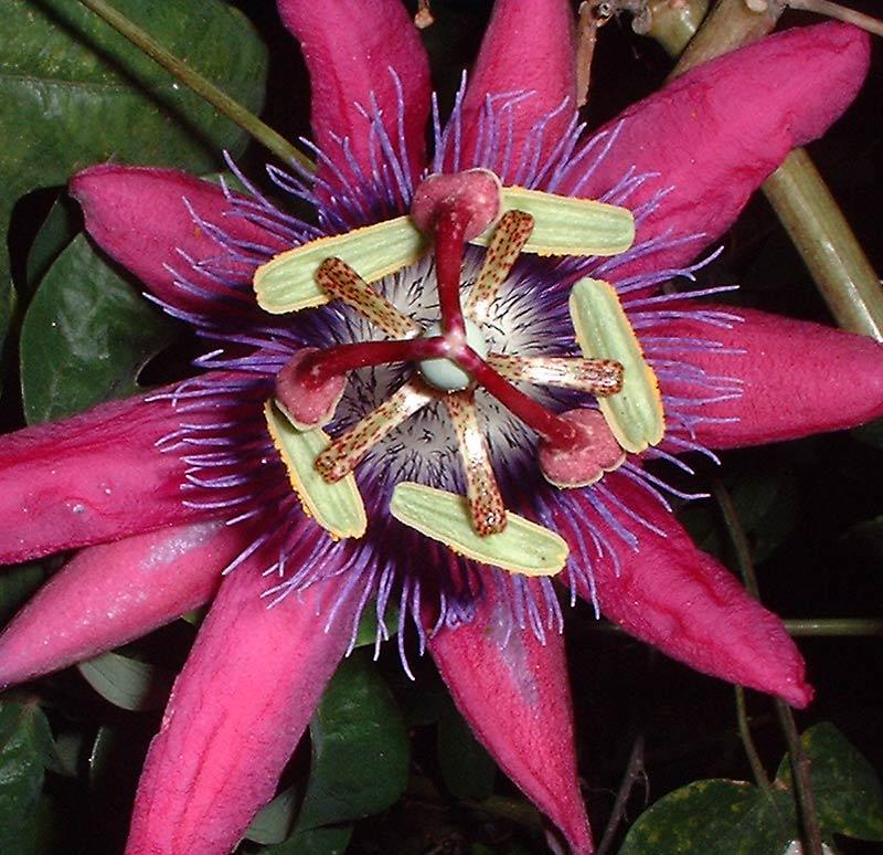 Passiflora loefgrenii 'Iporanga' top