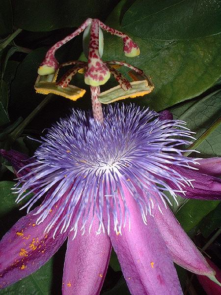 Passiflora loefgrenii 'Corupa' macro