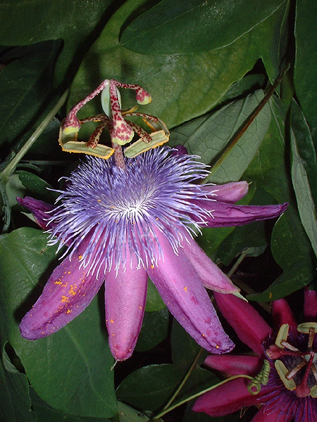 Passiflora loefgrenii 'Corupa' side