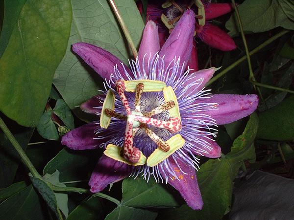 Passiflora loefgrenii 'Corupa' flower