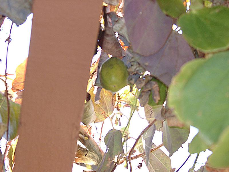 Passiflora membranacea fruit © Greg Cunningham