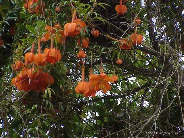 Passiflora parritae © 2001 Ron Boender