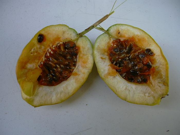 Passiflora parritae fruit © 2005 Greg Cunningham