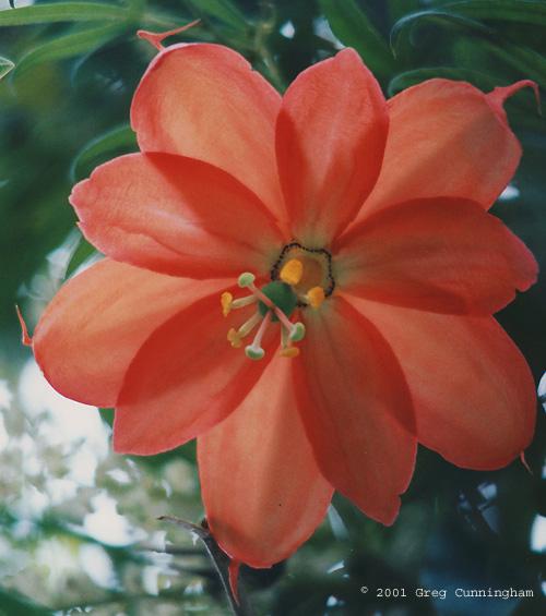 Passiflora parritae © 2001 Greg Cunningham