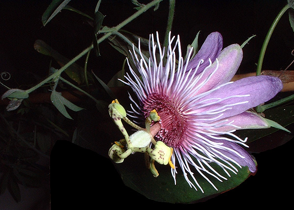 Passiflora amethystina Minas Gerais