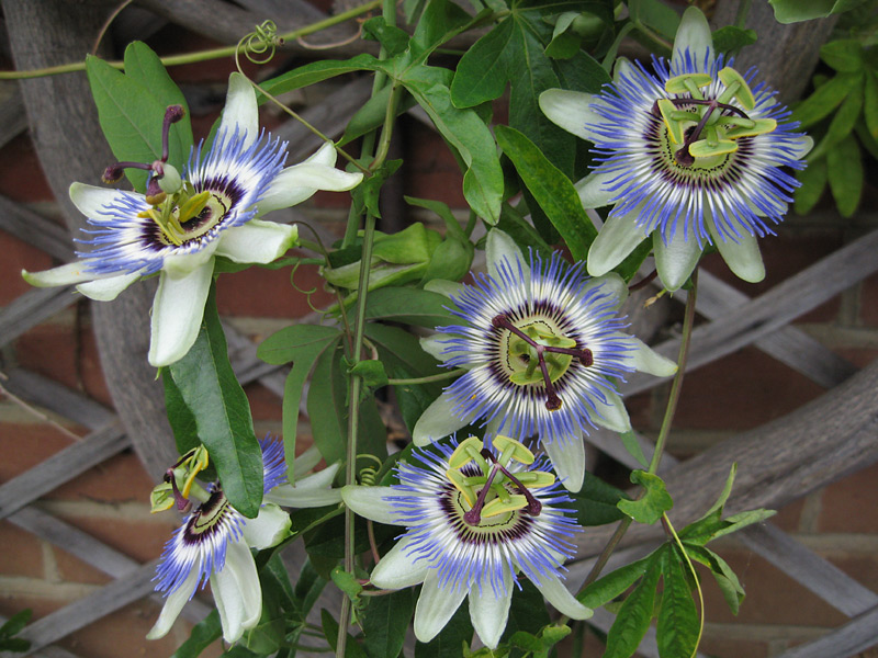 Species Passiflora caerulea flower